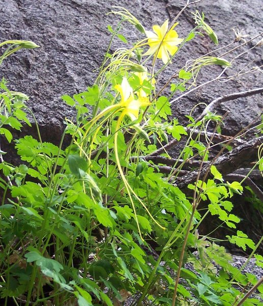 Rock Climbing Photo: An unusually long tailed Columbine only seen on Ba...