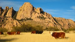 Rock Climbing Photo: Cattle grazing near the Sheepshead