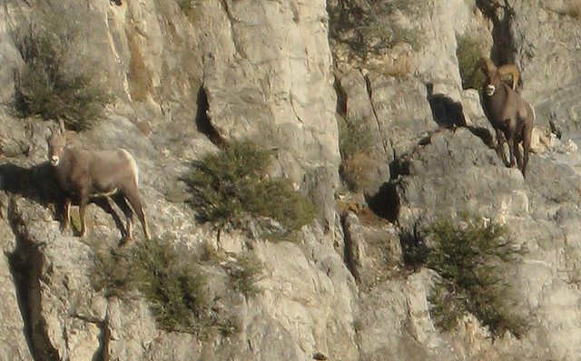 Some bighorn sheep giving us the stink eye. Man, those things can climb!