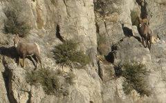Rock Climbing Photo: Some bighorn sheep giving us the stink eye. Man, t...
