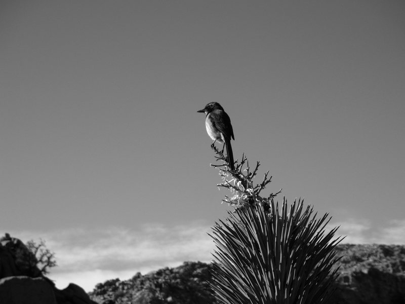 Rock Climbing Photo: A Climber's Friend. Scrub Oak Jay on top of an old...