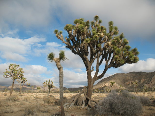 A nice Joshua Tree on the way to the Asteroid Belt, JTNP