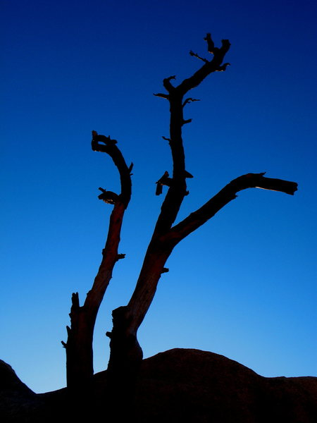 Weathered tree near Chimney Rock's North Face, Joshua Tree NP