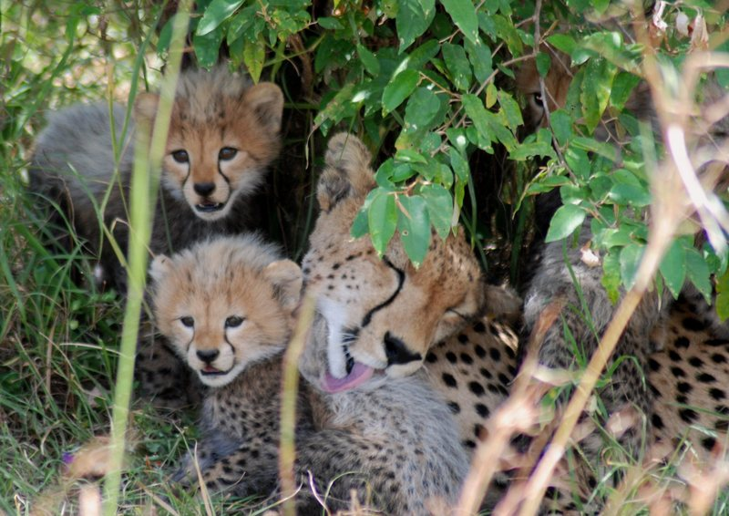 A few pals I met in the wild in Massai Mara, Kenya... July 2007. This shot was take at ~30-40 feet distance.  Cheetahs do not and will not attack humans.