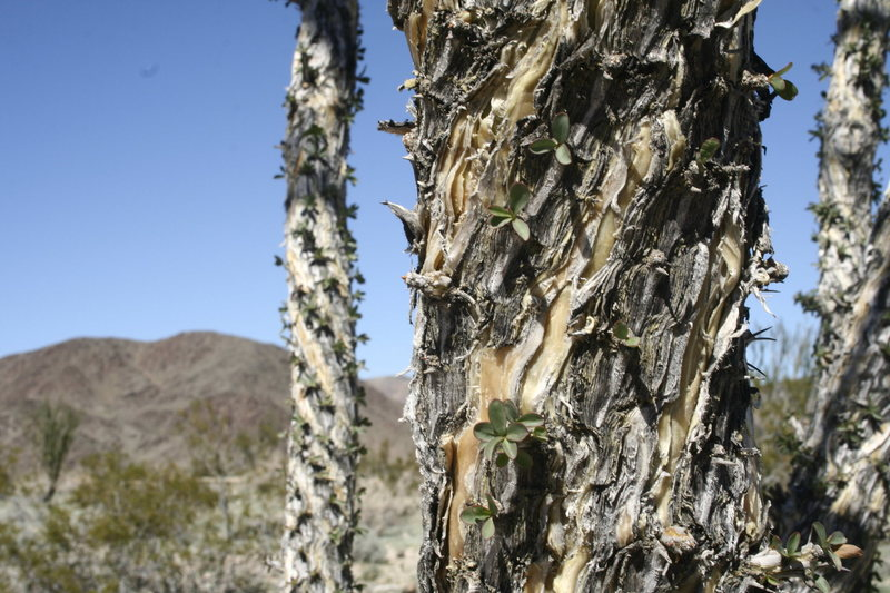 Rock Climbing Photo: ocotillo after the rain.