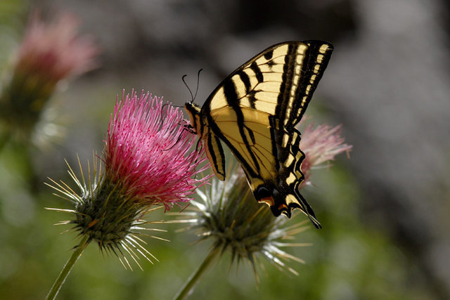 Rock Climbing Photo: Swallowtail photographed at the Flavin Haven.
