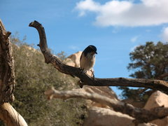 Rock Climbing Photo: A Blue Jay that followed my brother around.   Phot...