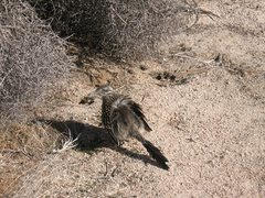Rock Climbing Photo: Roadrunner near Hidden Valley CG, Joshua Tree.