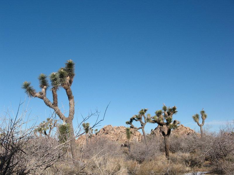 Rock Climbing Photo: Joshua Trees!!