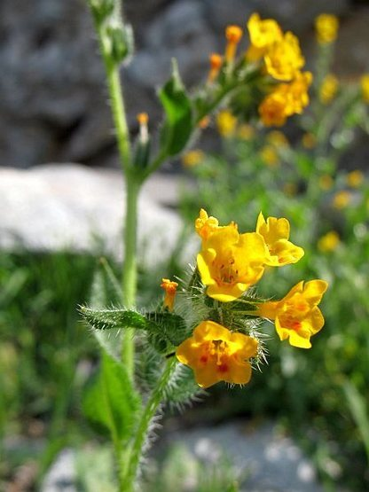 Rock Climbing Photo: Checker Fiddleneck (Amsinckia tessellata), Riversi...