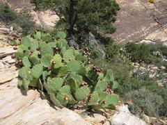 Rock Climbing Photo: Prickly pears at the base of Jubilant Song. Octobe...