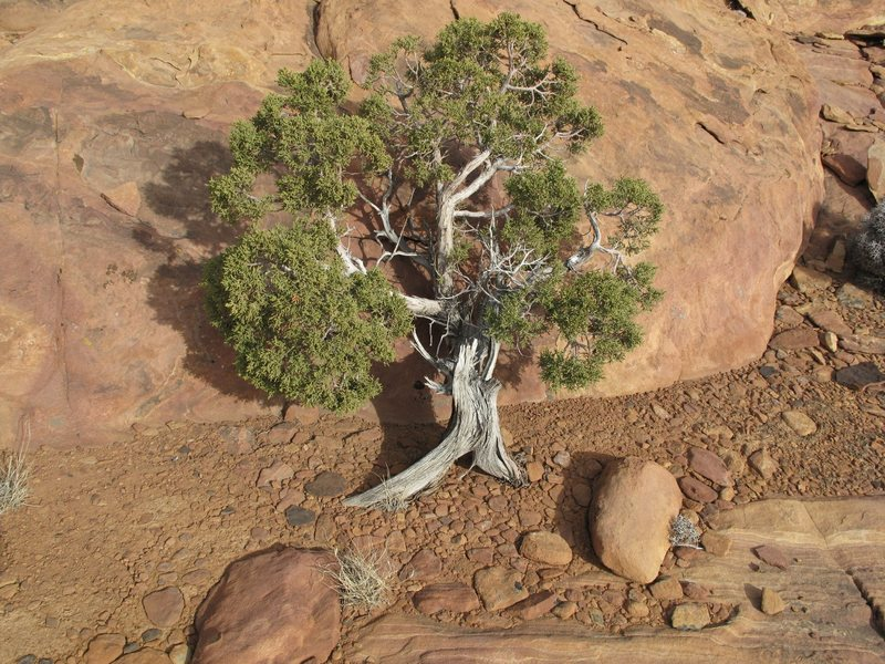 Bonsai on Windy Peak summit