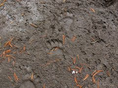 Rock Climbing Photo: Bear tracks