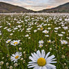 Daisy field in Torres Del Paine National Park, Chile