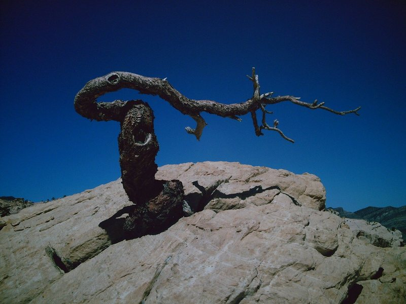 Rock Climbing Photo: A gnarled pine tree up near the summit of the Hidd...