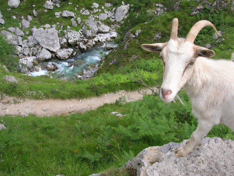 Rock Climbing Photo: Spanish goat
