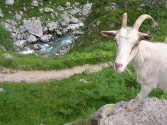 Rock Climbing Photo: Spanish goat