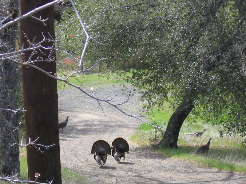Rock Climbing Photo: wild turkeys... (on my brother's  property) : )