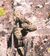 Rock Climbing Photo: A rattlesnake found near the base of the boulder w...