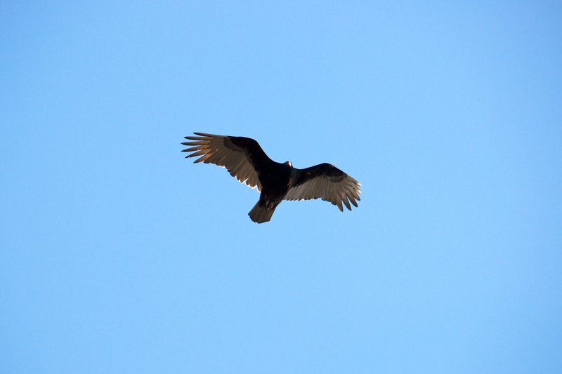 These guys are always around on the Main Face.  I think this is a vulture but I know there are some eagles around Yonah as well.