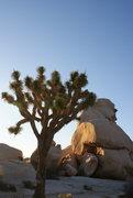 Rock Climbing Photo: The park's namesake tree.