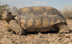 Rock Climbing Photo: Desert tortoise.
