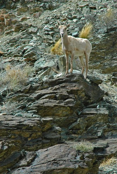 Rock Climbing Photo: Bighorn sheep in the White Mountains