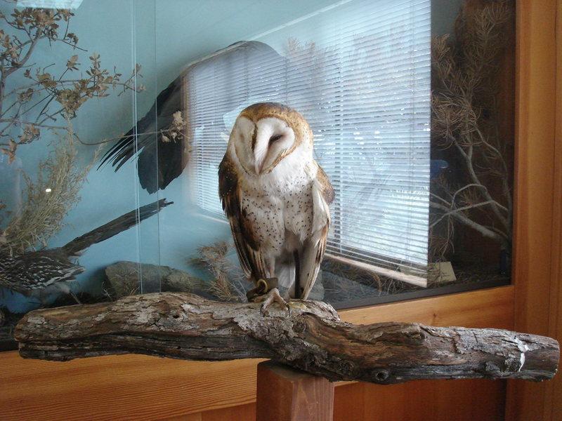 Ruth the Barn Owl.