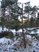 Rock Climbing Photo: This is the smaller tree that supported the top en...