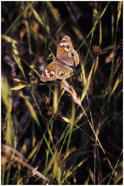 Buckeye Butterfly, Bishops Peak