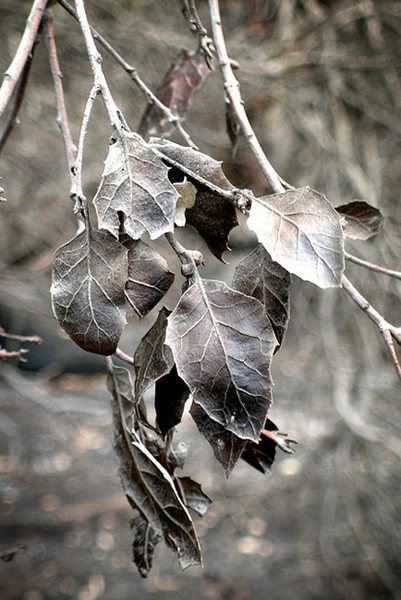 Burned leaves from a coast live oak--photographed following a recent wildfire on the Central Coast.