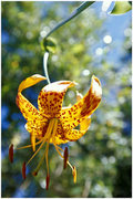Rock Climbing Photo: Humboldt Lily, photographed along the trail to Ech...