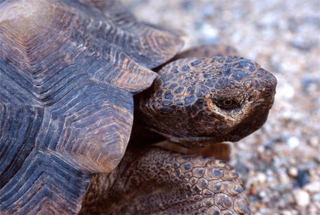Desert Tortoise, found crossing the main road into Indian Cove.