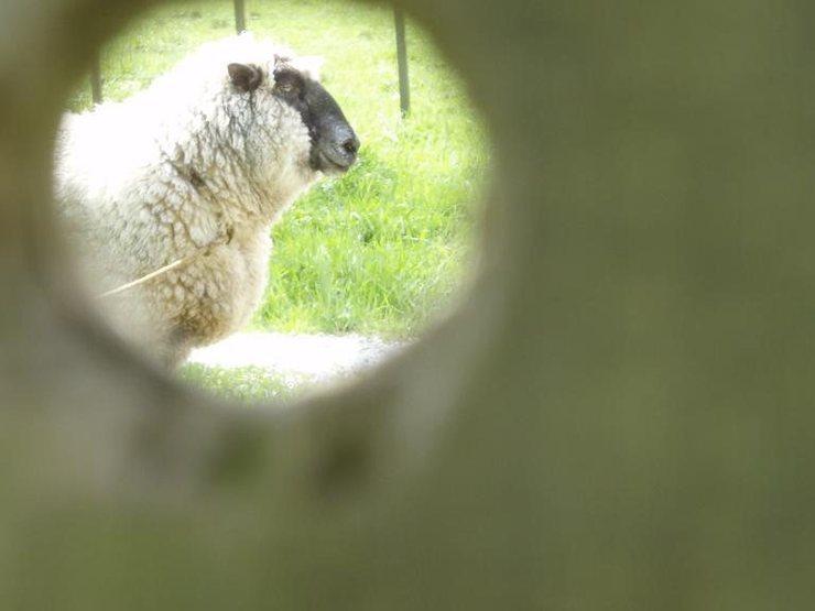 Rock Climbing Photo: hello sheep