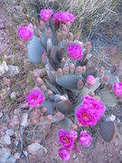 Rock Climbing Photo: Very prolific prickly pear cactus on the approach.