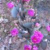 Very prolific prickly pear cactus on the approach.