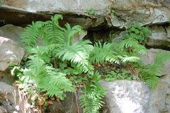 Rock Climbing Photo: Nice ferns at Y.B.