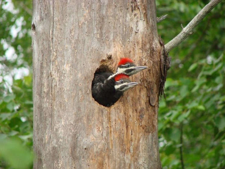 Rock Climbing Photo: Baby woodpeckers at our campsite on Insula Lake in...