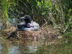 Rock Climbing Photo: Nesting loon on Thomas Lake, Boundary Waters, MN. ...