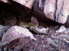 Rock Climbing Photo: Rattler in Eldo devouring a chipmunk.