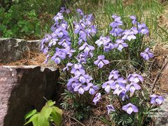 Rock Climbing Photo: Birdfoot Violet (Viola pedata) is an unusual littl...