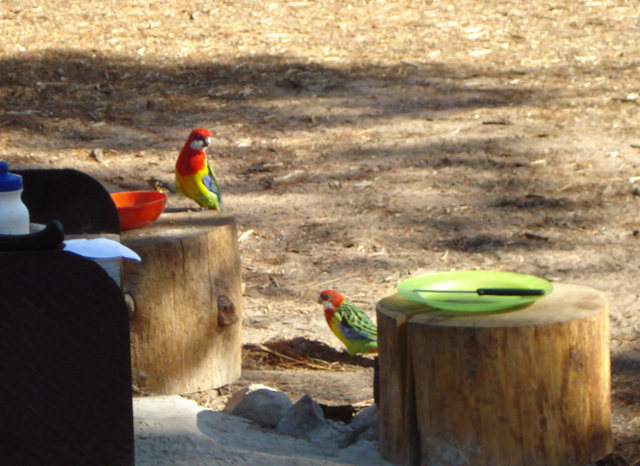 Eastern Rosella, in the Pines, checking out my cereal bowl