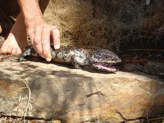 Rock Climbing Photo: Stumpy tail lizard