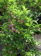 Rock Climbing Photo: We have a gazillion plums coming in. I swear, they...