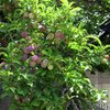 We have a gazillion plums coming in. I swear, they are the sweetest, and juiciest plums around! : )<br> <br> Taken 6/1/09