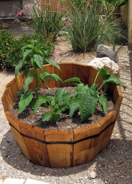 We received our Echinacea plants in the mail as poor, little wilted looking things, but now they are growing up fast, healthy, and strong.<br> <br> Taken 6/1/09