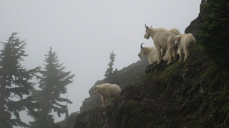 Rock Climbing Photo: Fog and mountain goats: must be the Cascades.