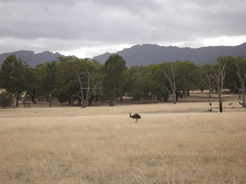 Emu in the Grampians