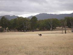 Rock Climbing Photo: Emu in the Grampians