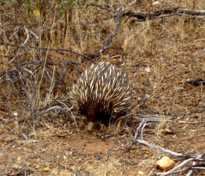 An echidna (spiny anteater)